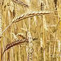 Golden Wheat  by Carlos Caetano