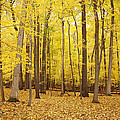 Golden Woods by Aimee L Maher ALM GALLERY