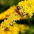 Goldenrod Beetle by Laurel Talabere