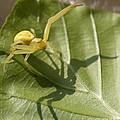 Goldenrod Crab Spider by Matthias Lenke