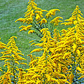 Goldenrod Flowers by Duane McCullough