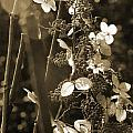 Goldenrod In Sepia by Carolyn Stagger Cokley
