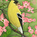 Goldfinch And Dogwood by Jim Ziemer