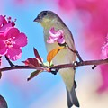 Goldfinch Behind Pink Blossoms 031015aaa by Edward Dobosh
