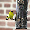 Goldfinch by Brenda Conrad