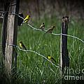 Goldfinch Gathering by Douglas Stucky