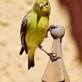 Goldfinch Hanging On 031015ac by Edward Dobosh