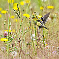 Goldfinch In A Field Of Wildflowers by Sharon Talson
