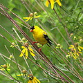 Goldfinch In The Flowers by Myrna Bradshaw