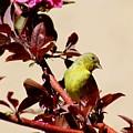 Goldfinch In Tree 031015a by Edward Dobosh
