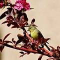 Goldfinch In Tree 031015aa by Edward Dobosh