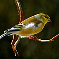 Goldfinch by Jean Wright