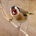 Goldfinch Male Carduelis Carduelis by Perry Van Munster