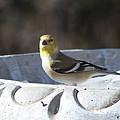 Goldfinch On Bird Bath by Ruth  Housley