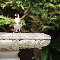 Goldfinch On Birdbath by Gordon Auld