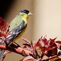 Goldfinch On Branch 031015aab by Edward Dobosh