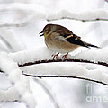Goldfinch On Snowy Branches by Karen Adams