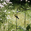 Goldfinch On The Lookout -19 by Ericamaxine Price