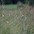 Goldfinch Party by Susan Patrie