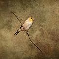 Goldfinch Portrait by Jai Johnson