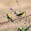Goldfinch Quest 5 by Erica Hanel