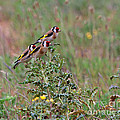 Goldfinches by Louise Heusinkveld