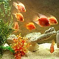 Goldfish At The Chinese Restaurant  by Lois  Ivancin Tavaf