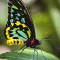 Goliath Birdwing Butterfly by David Millenheft