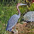 Goliath Heron By Water by Anthony Mercieca