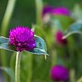 Gomphrena Flowers by Carol Welsh