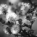 Gone To Seed Wild Aster by Teresa Mucha