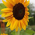 Good Morning Sunshine - Sunflower by Dora Sofia Caputo Photographic Design and Fine Art