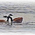 Goose Crossing by MTBobbins Photography