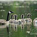 Goose Family by Larry Ricker