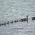 Goose Family by Lorna R Mills DBA  Lorna Rogers Photography