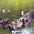 Goose Landing II by Vernis Maxwell