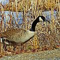 Goose On The Edge by MTBobbins Photography