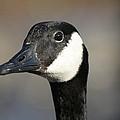 Goose Portrait by Allan Morrison
