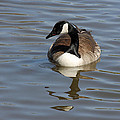 Goose Reflecting  by Carol-Ann  Neal