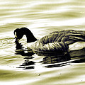Goose Reflecting In The Water by Alice Gipson