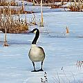 Goose Standing by MTBobbins Photography