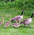 Goose Step by Will Borden