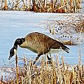 Goose Walking by MTBobbins Photography