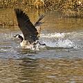 Goose Water Landing by Vernis Maxwell
