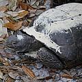 Gopher Tortoise Close Up by Doris Potter