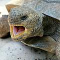 Gopher Tortoise by Larry Allan