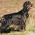 Gordon Setter Dog by John Daniels