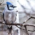 Gorgeous Blue Jay by Cheryl Baxter