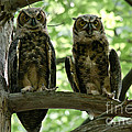 Gorgeous Great Horned Owls by Cheryl Baxter