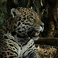 Gorgeous Jaguar by Mickey At Rawshutterbug